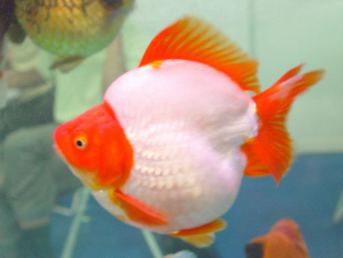 Goldfish of china for Pesce rosso butterfly